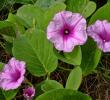 10 Manfaat Kangkung Laut Untuk Kesehatan dan Pengobatan Herbal