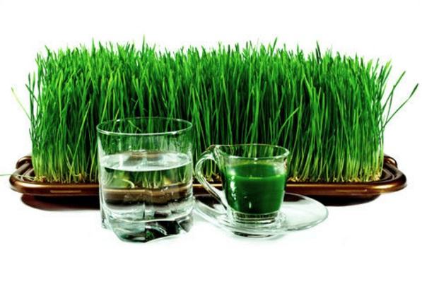 25 Manfaat Rumput Gandum untuk Manusia